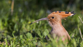 Hoopoe on Grass. Portrait of Hoopoe  Upapa epops on grass Royalty Free Stock Image
