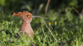 Hoopoe on Grass. Portrait of Hoopoe  Upapa epops on grass Stock Photos