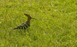 Hoopoe in the grass Stock Photo