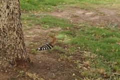 Hoopoe on the green grass Royalty Free Stock Images