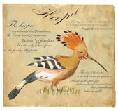 Hoopoe - An hand painted vector. An hand painted illustration into vector picture. Bird, Hoopoe Stock Images