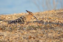 Hoopoe. The hoopoe is searching food in winter ground. Scientific name: Upupa epops Stock Images