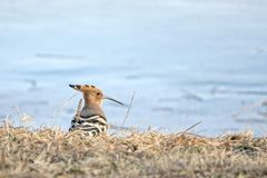 Hoopoe. The hoopoe is searching food in winter ground. Scientific name: Upupa epops Stock Photos