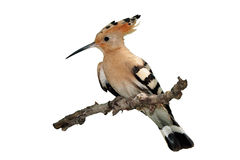Hoopoe isolated