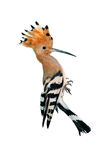 Hoopoe isolated vertical Stock Images