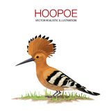 Hoopoe. Isolated hoopoe on white background. . Vector illustration made in a realistic style Royalty Free Stock Image