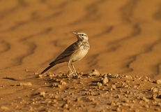 Hoopoe Lark in the desert Stock Photo