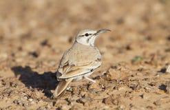 Hoopoe Lark in the desert Royalty Free Stock Photography