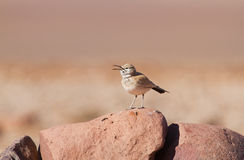Hoopoe Lark in the desert Royalty Free Stock Images