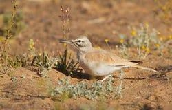 Hoopoe Lark in the desert Stock Image