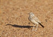 Hoopoe Lark in the desert Stock Images