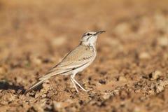 Hoopoe Lark in the desert Royalty Free Stock Image