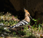 Hoopoe looking for insects in the grass Royalty Free Stock Images