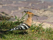 Hoopoe looking for insects in the grass Stock Images