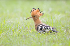 Hoopoe. The hoopoe is always looking for insects on grass to feed himself Stock Images