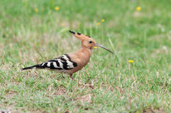 Hoopoe at a meadow Royalty Free Stock Photo