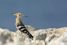 Hoopoe, migratory bird of Bhrain Stock Images