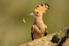 Hoopoe mit einem Wurm in seinem Schnabel Lizenzfreies Stockbild
