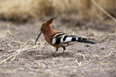 Hoopoe - Namibia Stock Photo