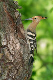 Hoopoe at nest. Eurasian hoopoe (Upupa epops) at nest site at a willow tree trunk Stock Photography