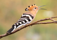 Hoopoe open the beak. One hoopoe sitting on special branch and open the beak.The identifications signs of the bird and the structure of the feathers are clearly Stock Photos