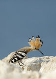 Hoopoe with open crest Royalty Free Stock Images