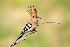 Hoopoe with open crest. Stock Photos
