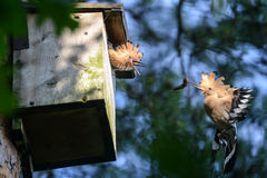 The Hoopoe. The parent is feeding young with insect Royalty Free Stock Photo