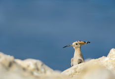 Hoopoe peeping from the rock Royalty Free Stock Photo