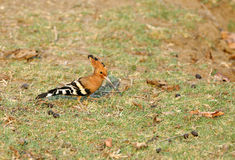 Hoopoe in Pench Tiger Reserve Royalty Free Stock Photos