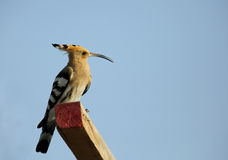 Hoopoe perched on wood Stock Images