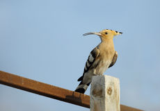 Hoopoe perched on wooden log Royalty Free Stock Image