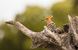 Hoopoe perching on olive Tree trunk Royalty Free Stock Photos