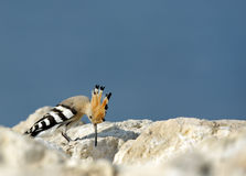 Hoopoe picking food Stock Photos