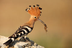 Hoopoe. The picture was taken form a hide in Hungary Stock Photography