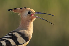 Hoopoe. The picture was taken in Hungary Stock Photos