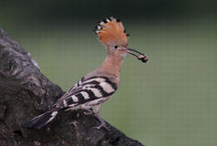 Hoopoe. The picture was taken in Hungary Stock Photo