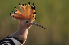 Hoopoe. The picture was taken in Hungary Royalty Free Stock Photography