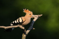 Hoopoe. The picture was taken in Hungary Royalty Free Stock Photos