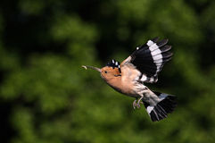 Hoopoe. The picture was taken in Hungary Royalty Free Stock Photo