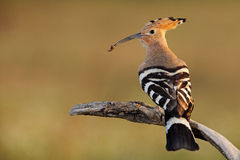 Hoopoe. The picture was taken in Hungary Stock Image