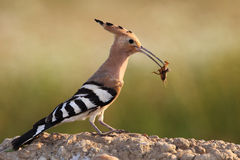 Hoopoe. The picture was taken in Hungary Royalty Free Stock Images