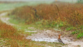 Hoopoe in the rain Stock Photography