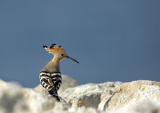 Hoopoe on the rock Royalty Free Stock Photos
