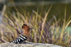 Hoopoe on the rock Royalty Free Stock Images