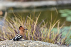 Hoopoe on the rock Royalty Free Stock Image