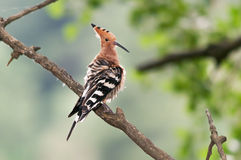 Hoopoe ruffles its feathers. A hoopoe (Upupa epops) sitting on branch with ruffled feathers during preening Royalty Free Stock Photo