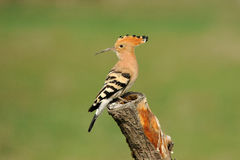 Hoopoe seen from his vantage Royalty Free Stock Photos