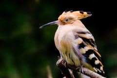 Hoopoe  sitting on a branch. Stock Photos