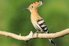 Hoopoe sitting on a branch   green background Royalty Free Stock Image